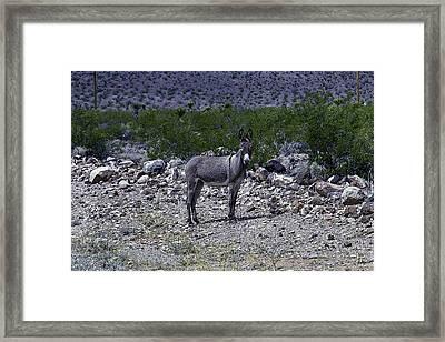 Azorina Donkey Framed Print
