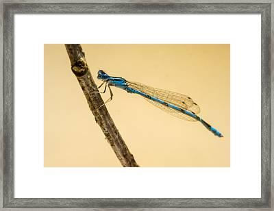 Azure Blue Damselfly Framed Print by Douglas Barnett