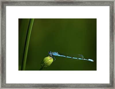 Azure Damselfly-coenagrion Puella Framed Print