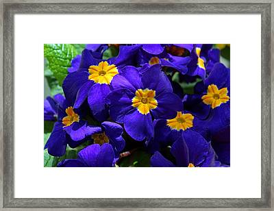 Framed Print featuring the photograph Azure Primrose by Michiale Schneider