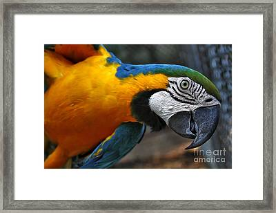 Babaloo Blue Framed Print by Wendy Mogul
