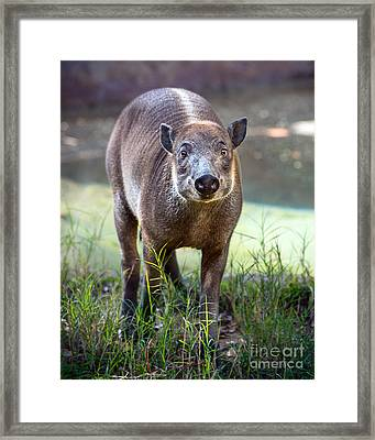 Babirusa Youngster Framed Print by Jamie Pham