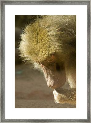 Baboon Craps Shooter Framed Print by Richard Henne