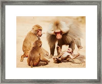 Baboon Family Having Fun In The Desert Framed Print