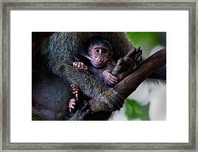 Baboon Papio Baby Feeding, Lake Framed Print by Panoramic Images