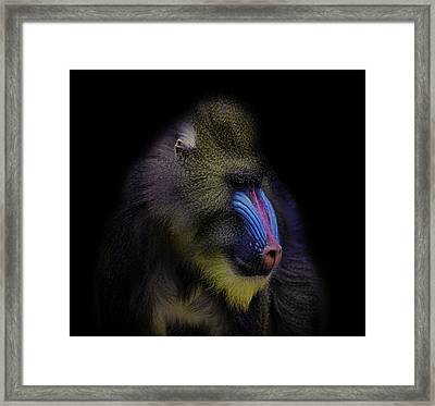 Baboon Portrait Framed Print by Martin Newman