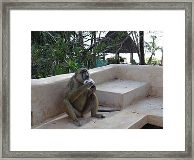 Baboon With A Sweet Tooth Framed Print