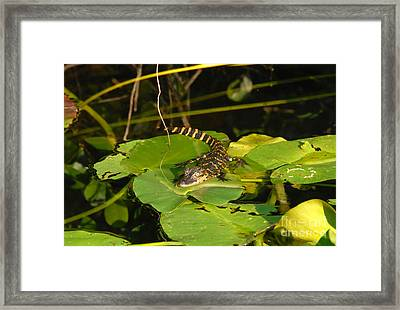 Baby Alligator Framed Print by David Lee Thompson