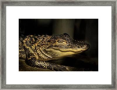 Baby Alligator Framed Print by Jean Noren