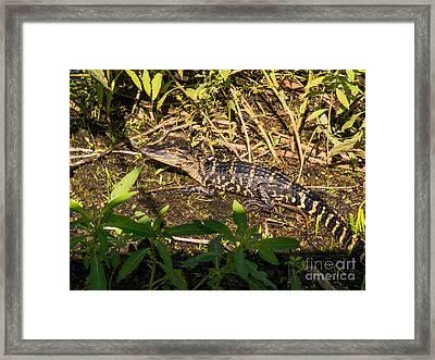 Baby Alligator  Framed Print by Zina Stromberg