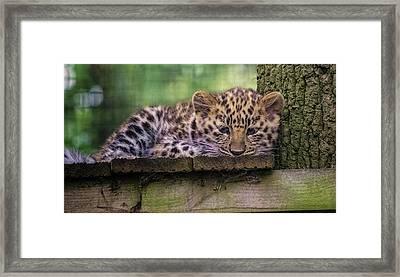 Baby Amur Leopard Framed Print by Martin Newman