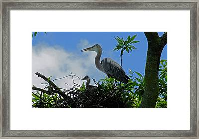 Baby And Mom Great Blue Heron Framed Print