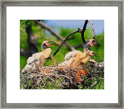 Framed Print featuring the photograph Baby Anhinga Chicks by Barbara Bowen