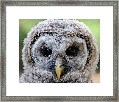Baby Barred Owl-2 Framed Print