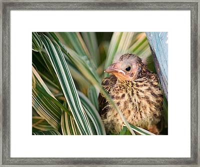 Baby Bird Peering Out Framed Print by Douglas Barnett