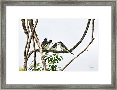 Baby Birds - Eastern Kingbird Family Framed Print by Christina Rollo