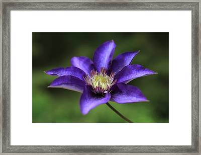 Baby Bloom Clematis Framed Print by Tammy Pool