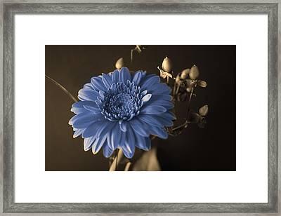 Baby Blue Gerbera Framed Print by Nancy TeWinkel Lauren