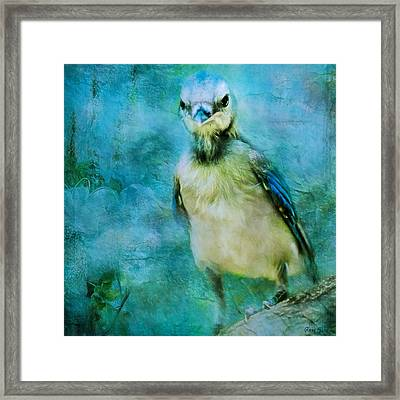 Baby Blue Jay Framed Print by Anna Louise