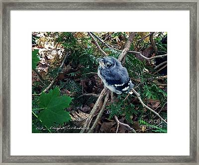 Baby Bluejay Framed Print