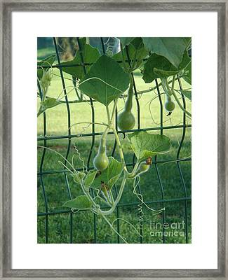 Baby Bottle Gourds Framed Print by Tierong Fu