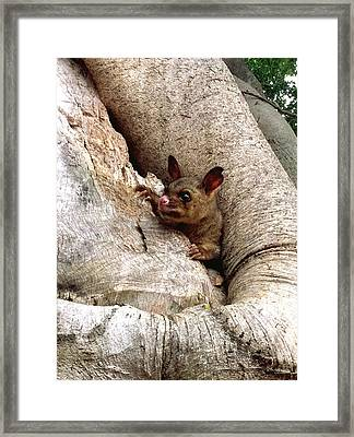 Baby Brushtail Possum Framed Print by Darren Stein