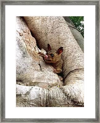 Baby Brushtail Possum Framed Print