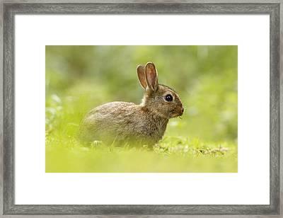 Baby Bunny Having Lunch Framed Print