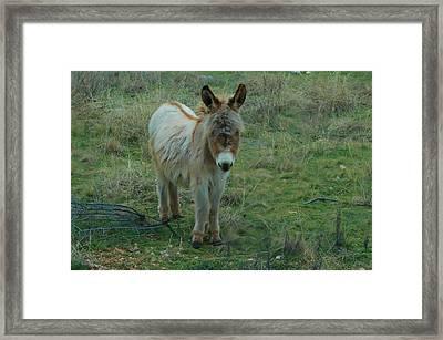 Baby Burro Framed Print
