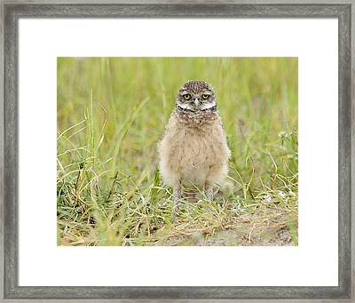 Baby Burrowing Owl Framed Print by Keith Lovejoy