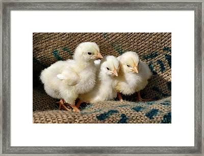 Baby Chicks Framed Print by Sandy Keeton