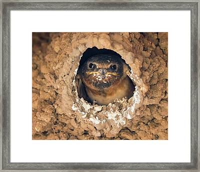 Baby Cliff Swallow Framed Print