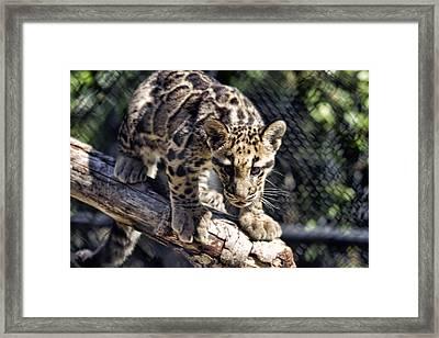 Baby Clouded Leopard Framed Print