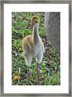 Baby Crane At A Month Old Framed Print
