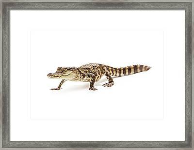 Baby Crocodile Walking Forward Framed Print by Susan Schmitz