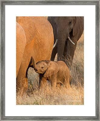 Baby Elephant 2 Framed Print