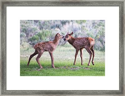 Framed Print featuring the photograph Baby Elk by Wesley Aston