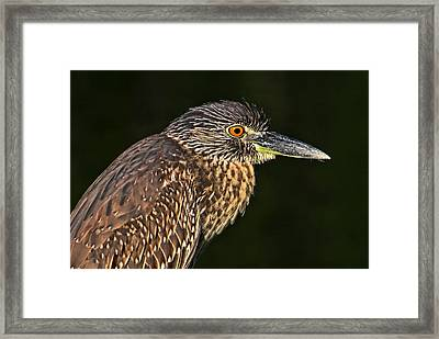 Baby Face - Yellow-crowned Night Heron  Framed Print by HH Photography of Florida
