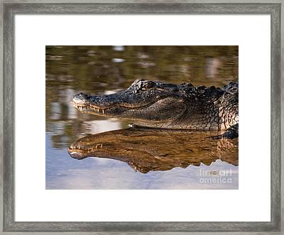 Baby Gator Portrait  Framed Print