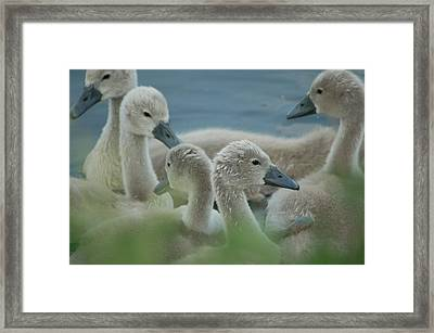 Baby Geese Framed Print