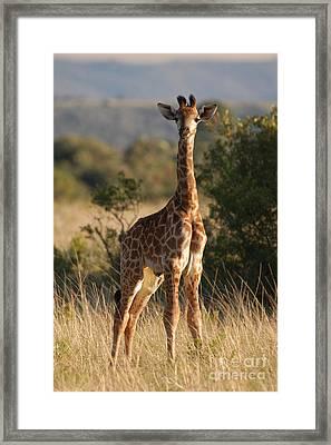 Baby Giraffe Framed Print by Andy Smy