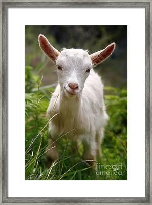 Baby Goat Framed Print by Gaspar Avila