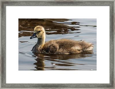 Baby Goose Framed Print by Paul Freidlund