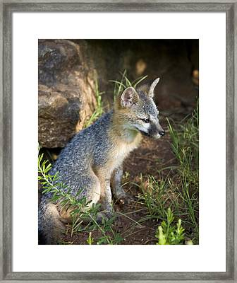 Baby Gray Fox Resting On Bluff Side Framed Print by Michael Dougherty