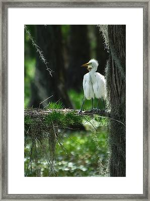 Baby Great Egrets With Nest Framed Print by Rich Leighton