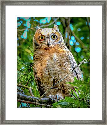 Baby Great Horned Owl Framed Print