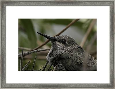 Baby Humming Bird Framed Print