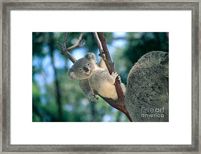 Baby Koala Bear Framed Print by Himani - Printscapes