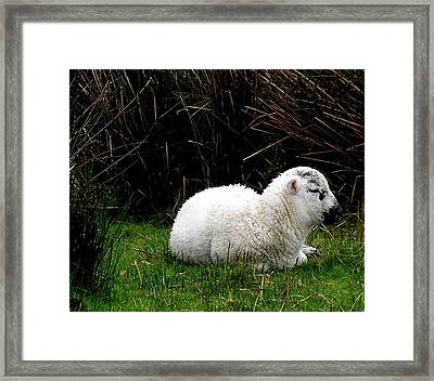 Baby Lamb Framed Print by Jeanette Oberholtzer
