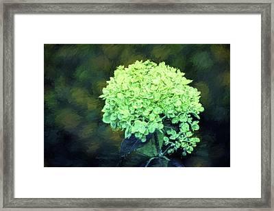 Baby Lime Hydrangea  Framed Print